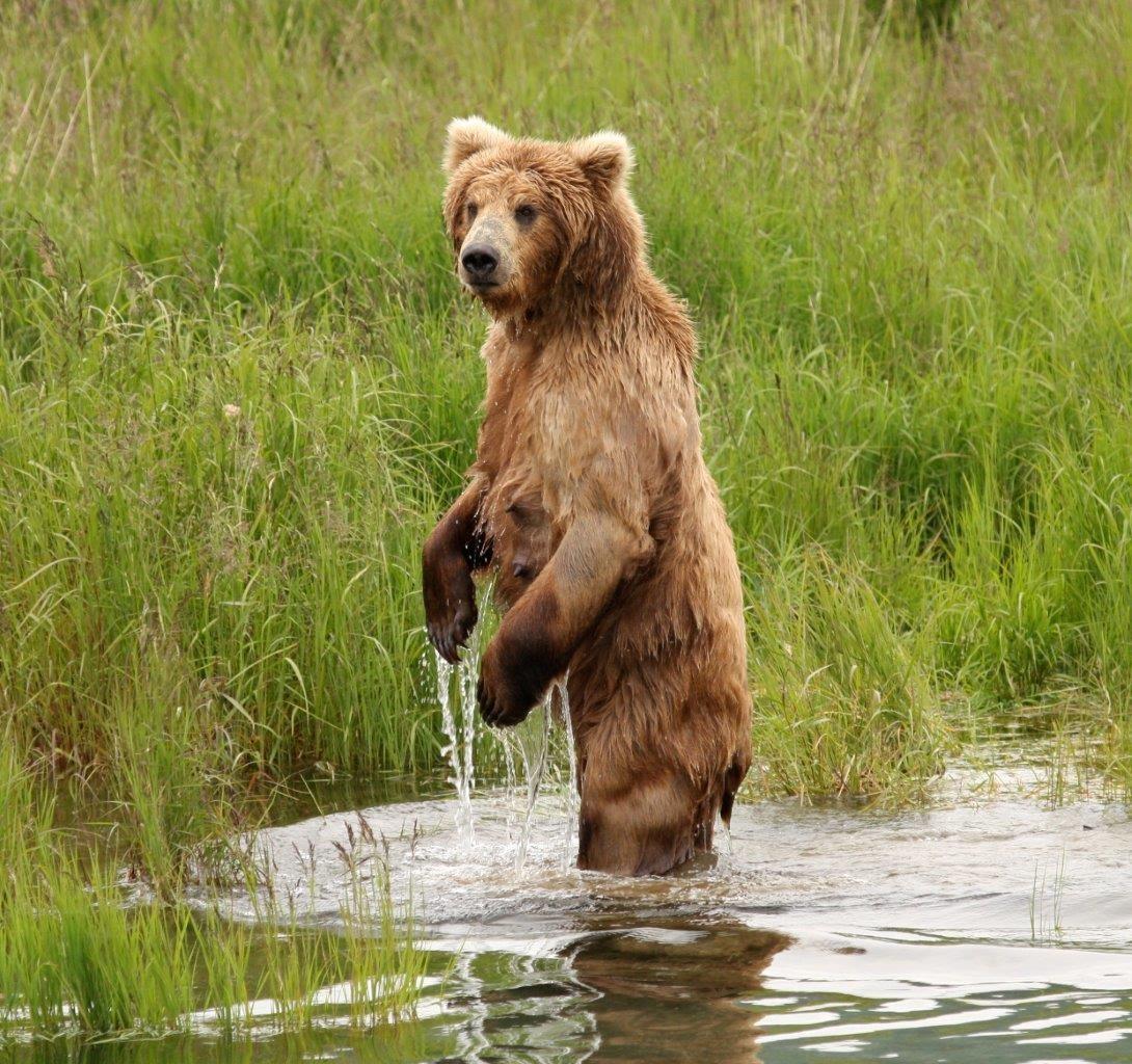 Alaskan Brown Bear