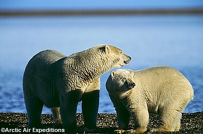 Arctic Air Expeditions polar bear tours